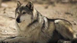 Волки в Крыму. Хроника нападений