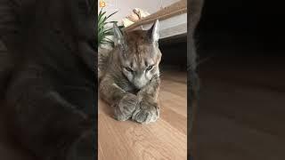 I_am_puma:С добрым утром, сони!😘ваши коты тоже постоянно умываются?😁