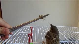 Воробей | Выкармливание птенца воробья | Кормление воробья |