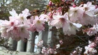 東京からアメリカの首都ワシントンに桜がやってきて2012年の今年は100周...