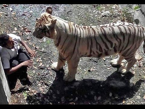 White tiger killed a man -  Full Original Video by GOTVNEWS
