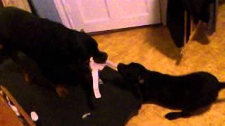 Rottweiler Vs Staffordshire Bullterrier