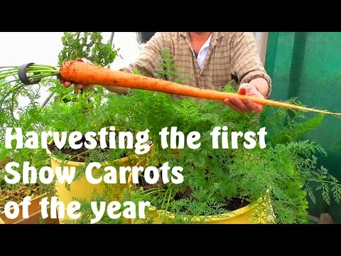 Allotment Diary : Harvesting the first Exhibition Show Carrots
