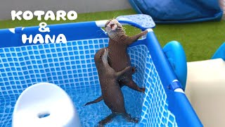 Otters Having Fun in The Pool!