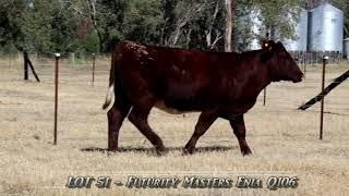 Futurity Masters Enia LOT 51- Futurity Shorthorns 2020 Bull & Female Sale