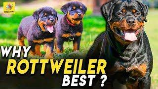 அதிசிய குணாதிசியங்கள் கொண்ட நாய்!   Rottweilers Are Single Master Dogs   Breed Characteristics