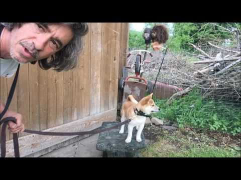 Train Shiba Inu Puppy Stand and Dont Move, Whoa Command for Dogs