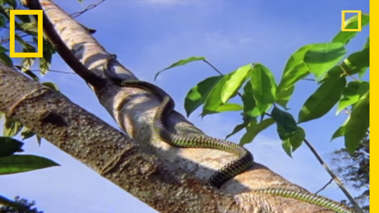 Flying Snake Hunts Leaping Lizard National Geographic Youtube
