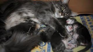 Котята породы Мейн Кун.  Kittens breed Maine Coon