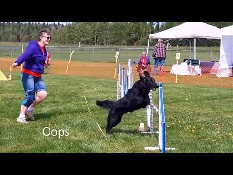 Autumn, Flat-Coated Retriever running Agility