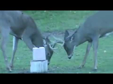 Regret, that mighty deer licks think, that