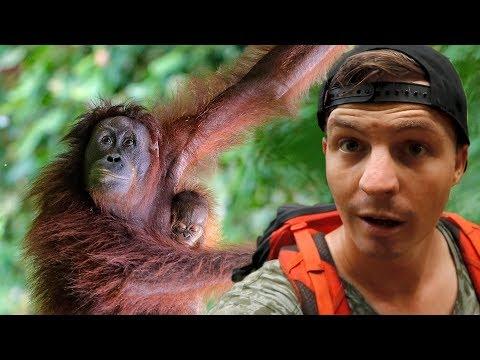 BUKIT LAWANG - Finding Wild Orangutans in Sumatra