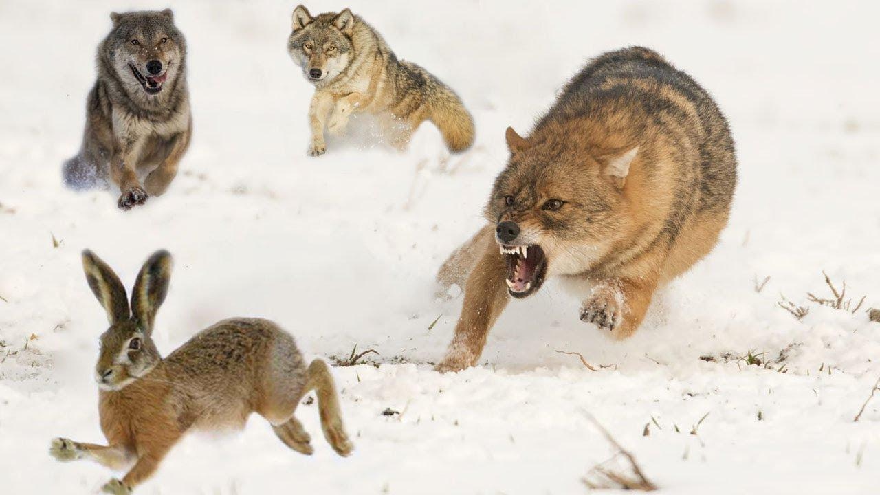 💥Стая волков гонится за нереально быстрым зайцем. Невероятная охота! - скачать с YouTube бесплатно