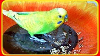 Корм для попугая//Как едят попугаи//Волнистый попугай Тоша