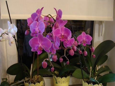 Орхидея фаленопсис: уход в домашних условиях, фото.