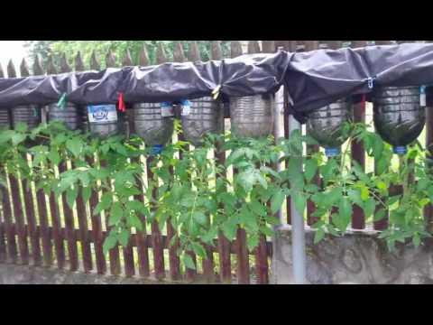 Выращивание помидор в бутылке. Фильм-1.