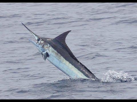 Marlin FAD Fishing Costa Rica Aboard CARIBSEA!
