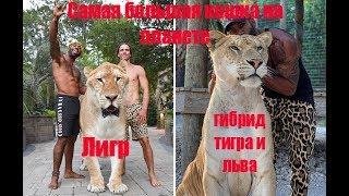 Самая большая кошка в мире, ЛИГР Тигр+Лев