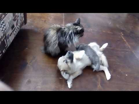 The Cat Laughs with the Dog Fun