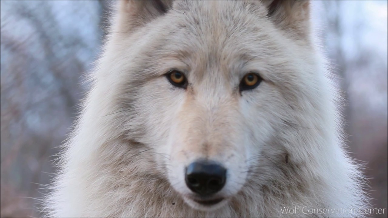 Listen to the Eyes of a Wolf