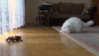 戦えばいいの?逃げればいいの?巨大なクモ(のオモチャ)を前に困惑気味の猫
