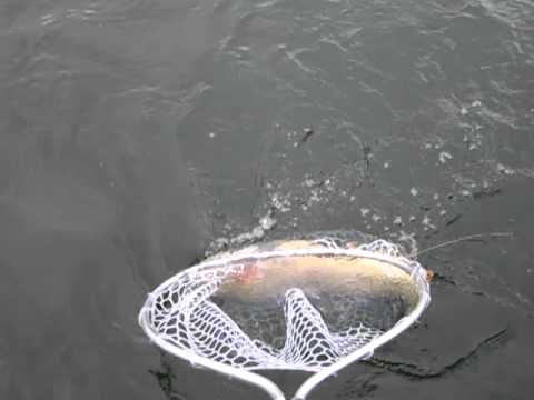 Yellowstone Lake trout are big!.MOV