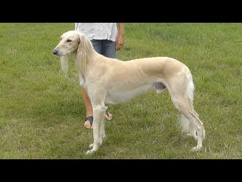 Dog Breed Video: Saluki