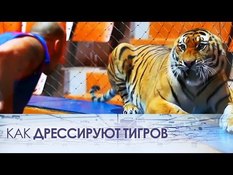 Как дрессируют тигров