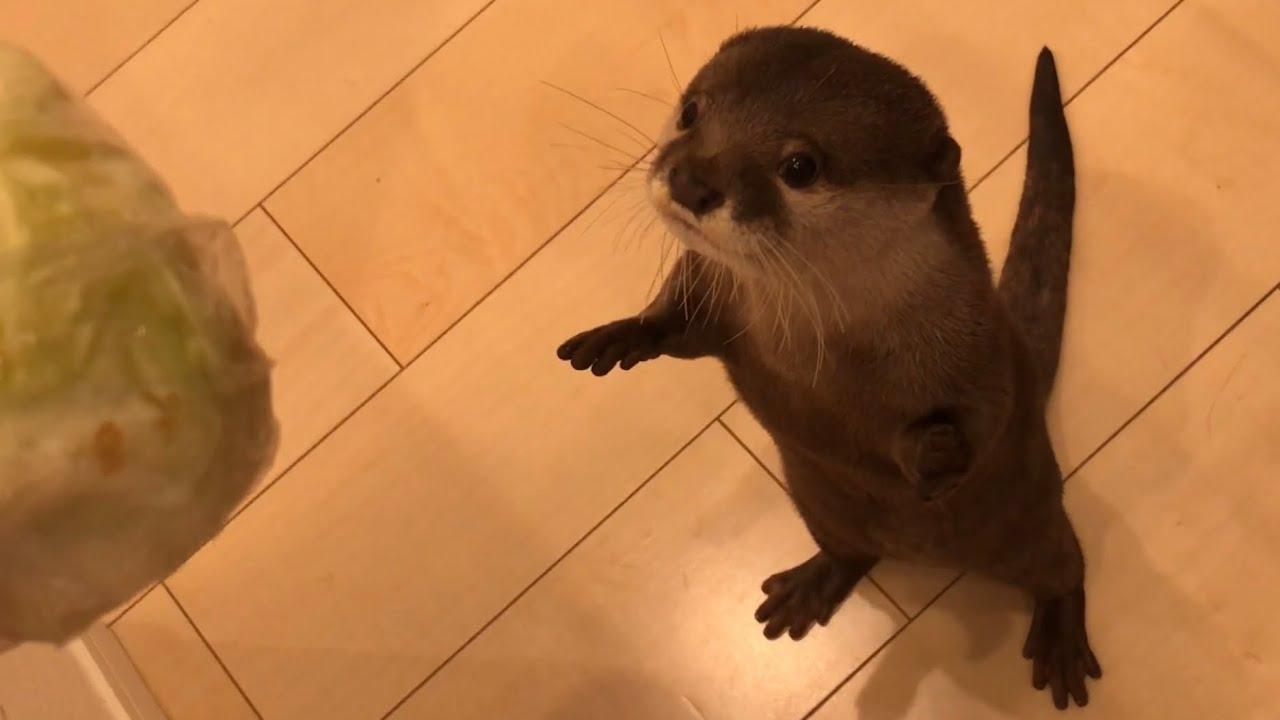 カワウソさくら レタスをほぼ独り占めし泣くも最後に奇跡がおきる Otter and cat eating lettuce