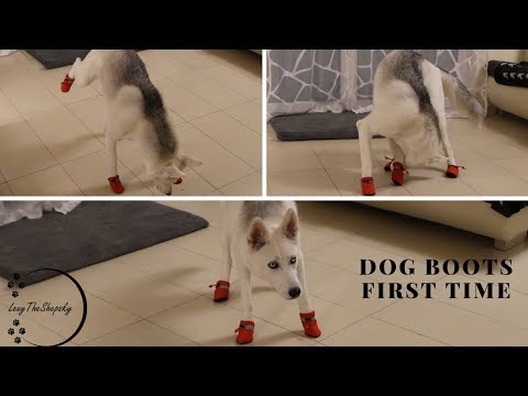 my dog Tries on Dog Boots for the First Time Ever!
