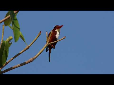 White Throated Kingfisher (halcyon Smyrnensis)...