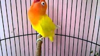Love Bird Juara Ngekek Panjang