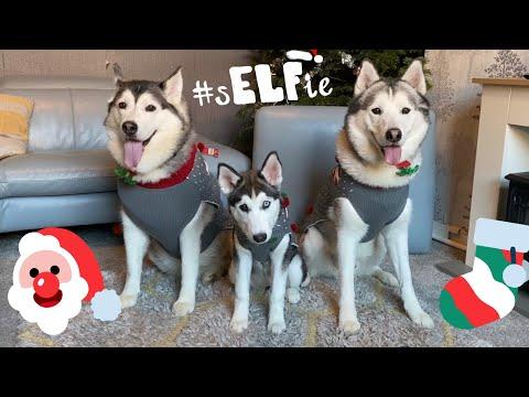 Turning My Huskies Into Christmas Elves!