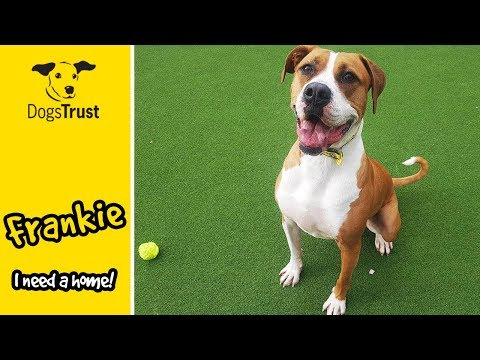 Frankie the Boxer Gives the Best High Fives! | Dogs Trust Glasgow