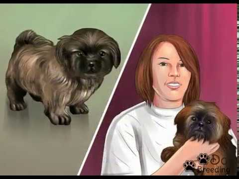 How to Breed Shih Tzus