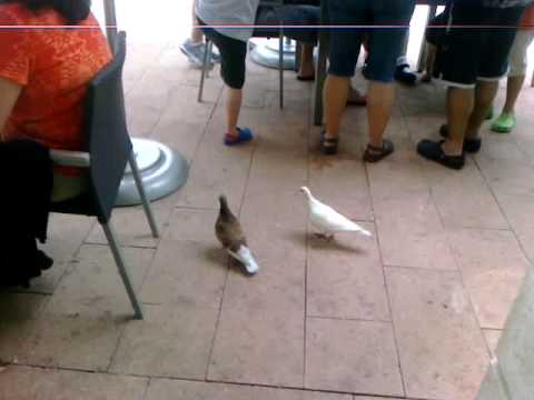 White Pigeon and Brown Pigeon!