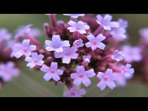 Gardening Tips : How To Grow Verbena