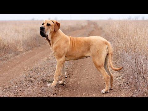 Фила бразилейро – собака для опытных собаководов