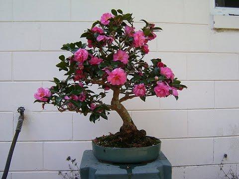 Landscape Shrubs Japanese Camellia Camellia Japonica Youtube