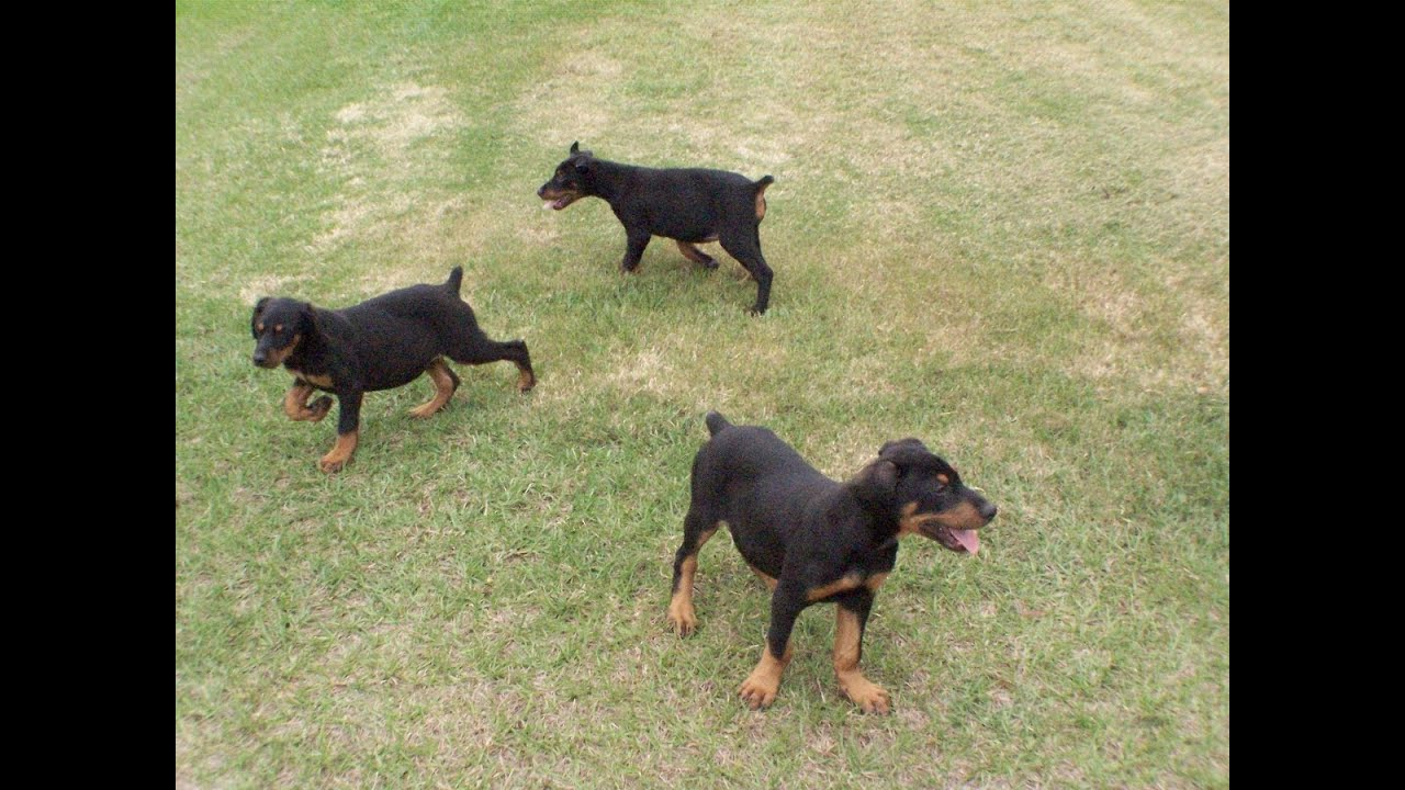 Doberman Pinscher, Puppies, Dogs, For Sale, In Charlotte ...