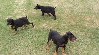 Doberman Pinscher, Puppies, For, Sale, In, Charlotte, North Carolina, Nc, Lexington, Clemmons, Fuqua