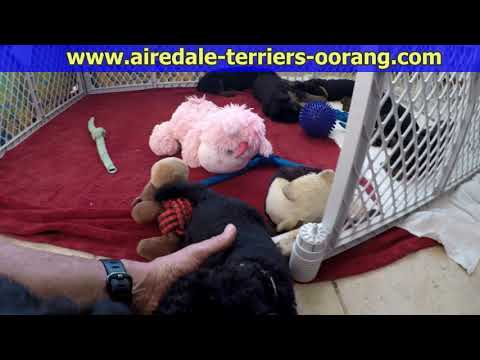 male Airedale Terrier puppy