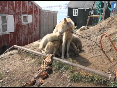 Robin Hood und die Schlittenhunde in Grönland