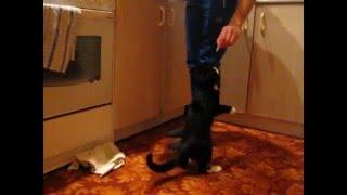 кот попрошайничает очень смешно