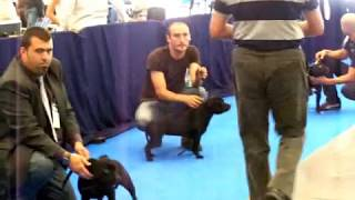 Staffordshire Bull Terrier Zudhell Brenda Pink Best Of The Breed