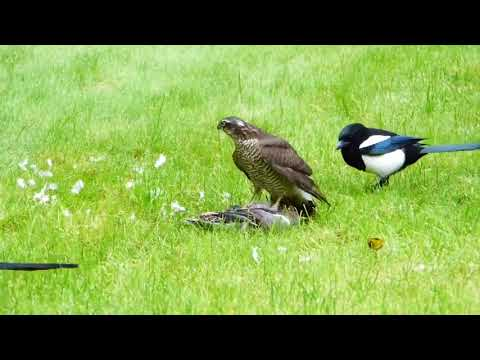 Chitral Guide   I saw in these magpies a heart touching feelings;   720p