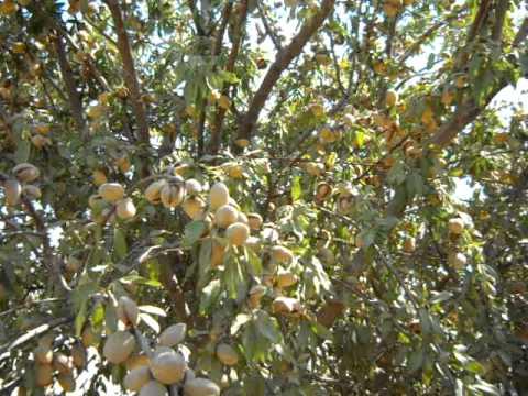 Almond Tree Loaded For Harvest.AVI