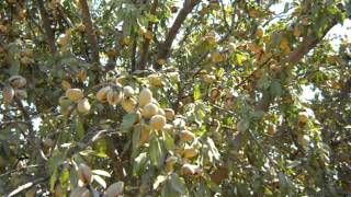 vuclip Almond Tree Loaded For Harvest.AVI