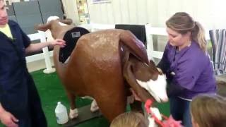 Child learning how to deliver baby cow