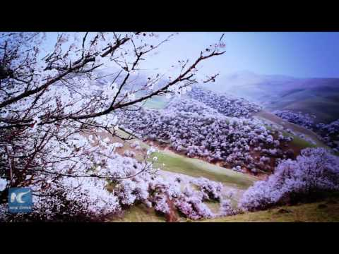 "Spectacular! Watch ""Apricot Valley"" during full bloom in China's Xinjiang"